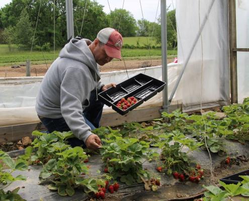 A veteran picks strawberries in a high tunnel.