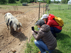 Two veterans crouch near a fence holding up their phones to take photos of a large spotted sow.
